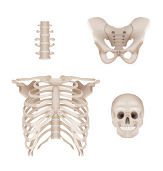 Human skeleton skull and bones anatomy for vector