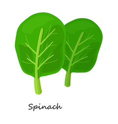 Spinach iconcartoon icon isolated vector