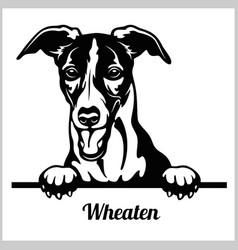 wheaten - peeking dogs - breed face head isolated vector image