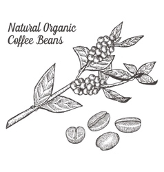 Coffee branch plant with leaf berry bean fruit vector