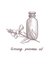drawing evening primrose oil vector image