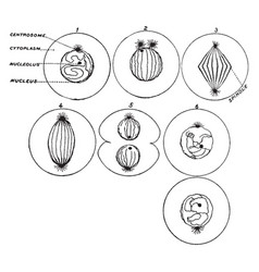 process of cell division vintage vector image