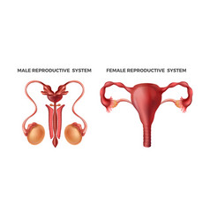 male and female reproductive realistic human body vector image