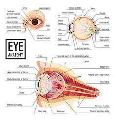 eyeball infographic cartoon style vector image