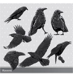 Ravens set vector