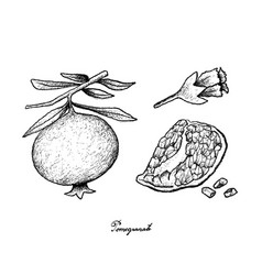 Hand drawn of ripe pomegranate on white background vector