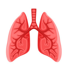 Human healthy lungs icon vector