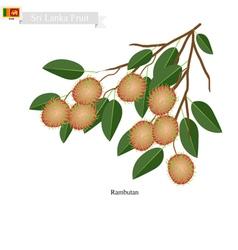 Fresh Rambutan A Famous Fruit in Sri Lanka vector image