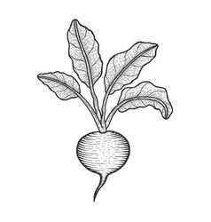 beetroot vegetable sketch engraving vector image