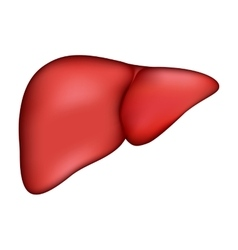 Realistic human liver medical vector image vector image