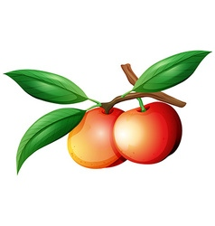 Nectarines on the branch vector