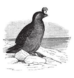 crested auklet vintage vector image