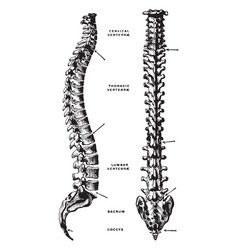 Lateral and dorsal view of the vertebral column vector
