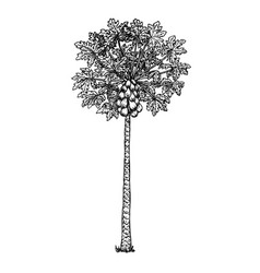 Papaya tree with fruits black-white sketch vector