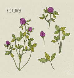 red clover medical botanical isolated vector image