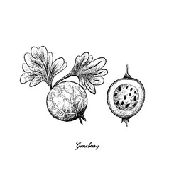 Hand drawn of gooseberry on white background vector