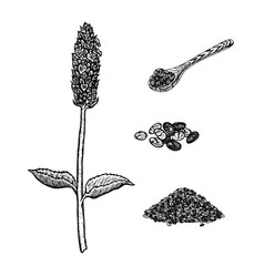 Hand drawn set of chia plant spoon and seeds vector