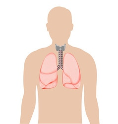 Human Lungs Diagram vector image
