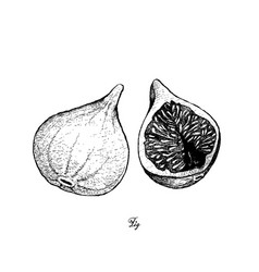 Hand drawn of fresh figs in white background vector