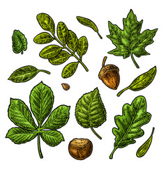 set green leaf acorn chestnut and seed vector image