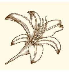 Beautiful Flower Lily vector