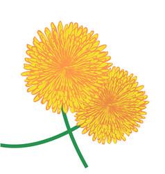 dandelions flower vector image