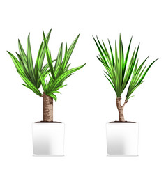 yucca tree in a pots hand drawn on vector image