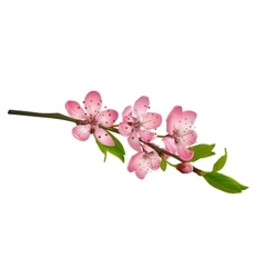 Cherry blossom sakura flowers isolated vector