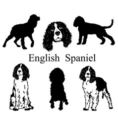 english spaniel set collection pedigree dogs vector image