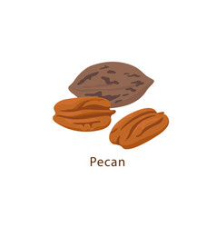 Pecan nut isolated on white background vector