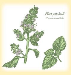 plant patchouli pogostemon cablini vector image