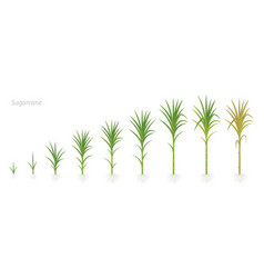 crop stages sugarcane growing sugar cane plant vector image