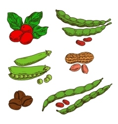 Peanuts coffee peas and beans sketches vector