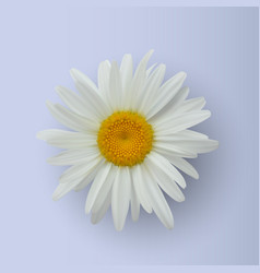 realistic daisy flower isolated on white vector image