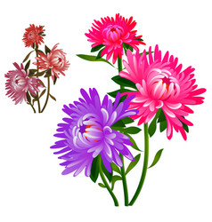 Bouquet flowers pink and purple asters vector