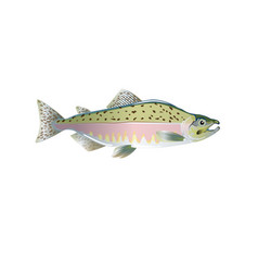 pink salmon fish optimized from to vector image