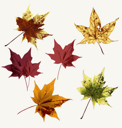 set maple leaves for design vector image
