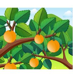 Oranges on the tree vector