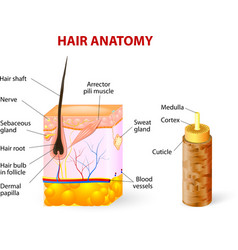 Hair anatomy diagram vector