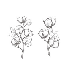 branches cotton in sketch style vector image