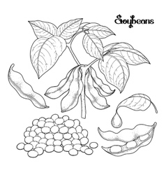 Graphic soybean collection vector image
