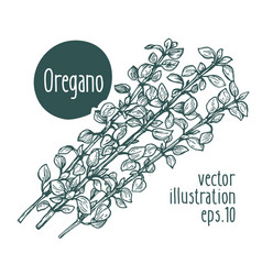 Oregano branch for design vector