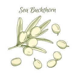 hand draw sea buckthorn berries vector image vector image