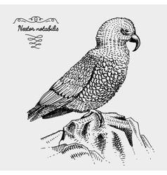 kea bird engraved hand drawn vector image
