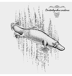 platypus engraved hand drawn vector image