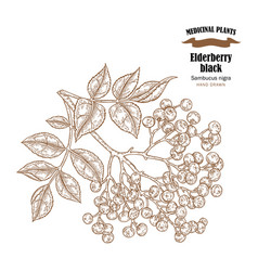 Elderberry black common names sambucus nigra hand vector