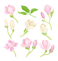 Magnolia flowers and branches spring vector