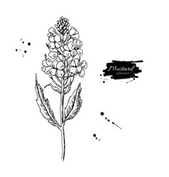 Mustard plant branch drawing botanical vector