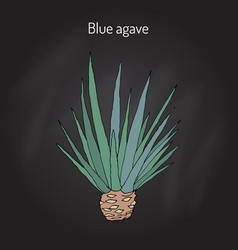 Blue agave agave tequilana hand drawn vector