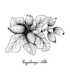 Hand drawn of cryptocarya alba fruits on white bac vector
